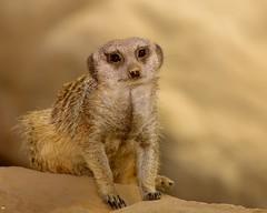 IMG_1619 Meerkat (Carlos Iberri) Tags: zoo meerkat wildlife