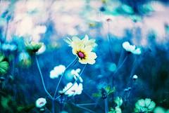 Cosmos (Shoji Kawabata. a.k.a. strange_ojisan) Tags: camera flower film japan 35mm lens tokyo lomo lomography purple zenit filmcamera cosmos xr kf  kenko   100400 1n petzval lomochrome kf1n