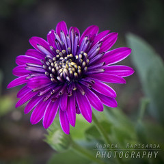 A flower in my garden (Andrea Rapisarda) Tags: test flower macro nature colors garden square purple zoom bokeh sony vivid natura tele colori prova giardino sfocato 3200iso ©allrightsreserved a6000