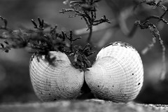 Romance (annechr) Tags: bw seashells sh skjell eika eiksund