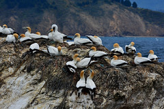 Australasian Gannet -  Takap (flyingkiwigirl) Tags: nest breeding marlborough sounds colony australasian gannet waimaru takap