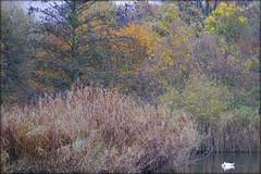 swan in a pond (piktorio) Tags: park autumn berlin water germany landscape swan pond foliage neuklln piktorio