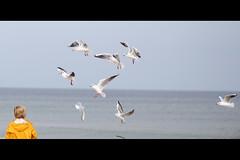 * (Henrik ohne d) Tags: ocean beach seagull balticsea rgen baabe ef85mmf18 eos400d september2014