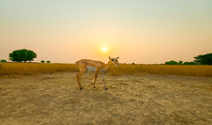 Blackbuck female during sunset (Debojit Deb) Tags: deer rajasthan blackbuck wideanglephotography wildlifephotography chhapar debojit talchhapar nikond600 indiawildlife nikonwideangle debojitdeb nikon1635mmf4vr mammalphotography