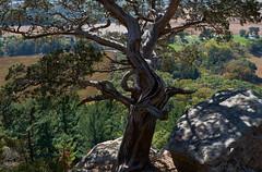 Lord of the Ledge (ggppix) Tags: eastern redcedar easternjuniper juniperusvirginiana cliff precipice iceage escarpment butte gibraltarrock statenaturalarea nationalscenictrail columbiacounty wisconsin dairy farm field trees fujifilmxpro1 fujinonxf18135f3556rlmoiswr garyglenprice captureonepro