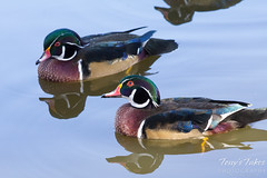 Duo of wood ducks.