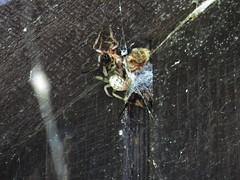 Larinioides cornutus, Clinton State Park, Kansas (lotos_leo) Tags: statepark travel summer spider nest outdoor clinton kansas clintonlake cornutus larinioides  crossamerica larinioidescornutus clintonstatepark  crossamerica2014