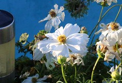 Sic Transit Gloria <<>> White Cosmos Blooms Before Deadheading (chicbee04) Tags: photostream
