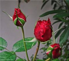 ... und sie blühen immer noch! - ... and they still bloom! (1)