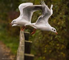 DSC_9532j (M van Oosterhout) Tags: light holland bird netherlands birds animal fauna fly flying wings seagull gull flight wing