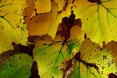 Grape plant in autumn. (George Ino) Tags: autumn copyright automne utrecht herbst herfst nederland thenetherlands autumnleaves otoño grapeplant druivenplant georgeino georgeinohotmailcom planteraisin