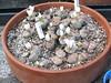 DSCF1471 (BobTravels) Tags: plant stone bob lithops lithop messem bobwitney