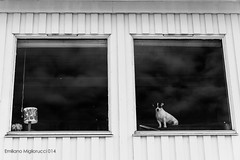 standing (miglio) Tags: winter blackandwhite dog norway norvegia northen troms northenlights lghts ersfjordbotn canoneos7d