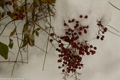 nandina domestica, roosevelt center, snow, jdy076 XX201403173672.jpg (rachelgreenbelt) Tags: usa snow unitedstates maryland northamerica greenbelt americas midatlantic berberidaceae princegeorgescounty nandinadomestica rooseveltcenter familyberberidaceae midatlanticregion berberidaceaefamily nandinaall