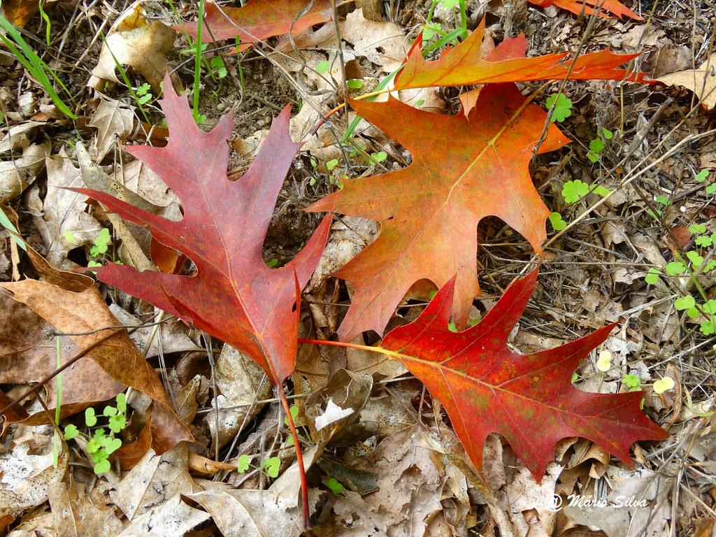 Águas Frias (Chaves) - ... folhas com cores outonais