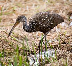 _C5A3363.jpg (Lake Worth) Tags: bird nature birds animal animals canon wings wildlife feathers sigma waterbird wetlands everglades waterbirds southflorida 2xextender