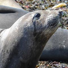 ELEPHANT DE MER - SAN SIMEON - CALIFORNIE (daumy) Tags: ocean mer elephant de sansimeon animaux californie sauvage pacifique tatsunis