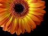 Gerbera (assy_47) Tags: flower gelb gerbera blume tz1