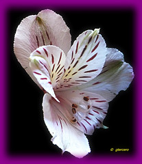 Astromelia.....P1020361EP (gtercero) Tags: 20090322 astromelia gtercero