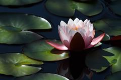 Backlit Water Lily (Matt Thalman - Valley Man Photography) Tags: plant flower water pond colorado waterlily lily denver backlit lilypads plantlife backlighting denverbotanicgardens