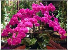 Orqudeas rosas (akel_lke ) Tags: rakel raquel elke rakelelke raquelelke rakelmurcia regindemurcia murcianorte espinardo murcia espaa spain espagne europa europe flower fleur fiore blumen  kvtina cvjetni kvetina floro lill lore kukka blodau    paj bloem virg bunga blm  zieds iedas  kwiat floare  blomma iek  hoa movl mobil celular iphone 6s plus iphone6