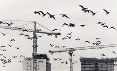 Cranes and Geese (Antti Tassberg) Tags: 135mm autumn bw bird blackandwhite city cityscape espoo fall hanhi kaupunki landscape lens lintu monochrome nosturi prime syksy tapiola urban uusimaa finland