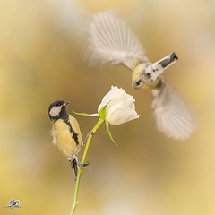 farewell (Geert Weggen) Tags: nature animal perennial closeup cute plant funny happy summer ground bright light branch yellow bird tit titmouse flower white rose stem wing fly farewell goodbye sweden geert weggen jmtland ragunda