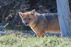 Culpeo Fox (Tim Melling) Tags: culpeo south american red fox dusicyon culpaeus timmelling andean