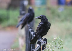 Corvid on a fence (Jeff Derbys) Tags: fencedfriday corvid crow wollatonpark