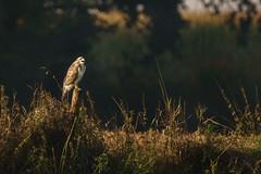 Muse wo seid ihr? (seelengalerie) Tags: all alpha77m2 aves feldundwald fotoart freie greifvgel herbst ilca77m2 jahreszeit kamera land landschaft muttererde musebussard natur naturreich sony tierundpflanzenwelt tierreich tierwelt vogel vgel wald wildetiere wildlife a77ii imgrnen insgrne unberhrtelandschaft