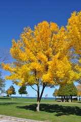 some trees are brilliant (ladybugdiscovery) Tags: collingwood waterfront park golden leaves gold heart blue sky tree