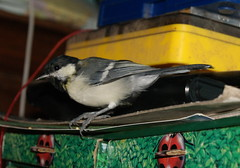 DSC05198 (GotikAngel) Tags: bird oiseau msange gustave