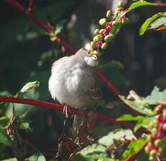 White-Throated Sparrow Impersonating Carmen Miranda (NCReedplayer) Tags: bird songbird sparrow whitethroated whitethroatedsparrow carmenmiranda pokeberry birddrag drag