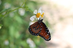 La Petite Fleur et le Papillon Monarch (AutumnSunOriginals) Tags: wildflowers daisies papillon butterfly monarch