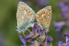 Couple d'azurs communs / Pair of Common Blue butterflies (Polyommatus icarus) (eve_bg_1 (on / off)) Tags: polyommatusicarus azurcommun azurdelabugrane azur azurdicare argusbleu argus polyommatinae papillon butterfly lepidoptera lpidoptre nature wildlife outdoor closeup insect insecte insecta entomologie entomology macro macrophotographie macrophotography parcdesrapides lasalle montral qubec accouplement arthropoda animal ditrysia papilionoidea lycaenidae polyommatini polyommatus lycneicare argusicare commonblue gemeiner bluling gemeinerbluling dospuntos