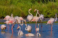Oiseaux de Camargue (marypink) Tags: parcoornitologicodipontdegau camargue provenza francia phoenicopterusroseus fenicotterorosa birds water nikond7200 nikkor80400mmf4556