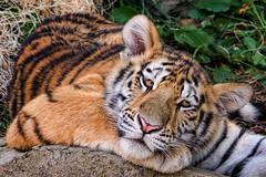 Sleepy Kitten (John Greg Jr) Tags: amurtiger animals carnivores columbus columbuszooaquarium mammals ohio siberiantiger usa unitedstates zoo exif:focallength=210mm camera:model=nikond7100 exif:model=nikond7100 exif:make=nikoncorporation exif:aperture=56 exif:lens=1803000mmf3556 exif:isospeed=1250 camera:make=nikoncorporation