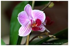 Miniature Phalaenopsis Orchid (Petera3015) Tags: candystripedorchid miniaturephalaenopsis candystriped striped candy miniature phalaenopsis orchid