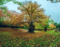 Comunion (abel.maestro) Tags: autumn yellow trees leaves sky forest girl beauty color light europe tree beautiful fall green spain arbol bruja comunicacion magia comunion castao buena simbiosis andalucia huelva brown los marines chestnut godd