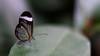 See-through wings (Bo Gaarde) Tags: gretaoto glasswingedbutterfly glasswinged butterfly insect leaf nikon nikond7100 seethrough translucent transparent brushfootedbutterfly wings mariposadecristal nikonafs50mmf18g copenhagenzoo københavnzoo zoologiskhave zoo 50mmprimelens 50mm sommerfugl