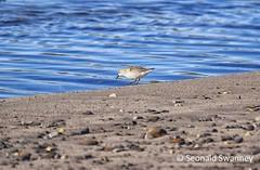 Dunlin (Orkis SS) Tags: bird nature nikon nikonphotography orkney orkneyislands scotland britishbird avian dunlin shore shorebird beach sea