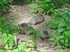 Woodchuck 5 (Christa Rittberg) Tags: woodchuck mammal minnesota creativecommons kohlmancreekpreserve groundhog