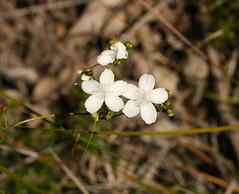 Sundew Flowers (philipbouchard) Tags: drosera sundew droserahuegelii boldsundew droseraceae flower wildflower white carnivorous plant nannup westernaustralia australia woodland