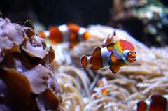 297/366 Creepy Clownfish (ruthlesscrab) Tags: vancouveraquarium vancouver bc canada wah werehere hereios 366the2016edition 3662016 day297366 23oct16 clownfish clown creepy