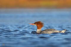 Grand harle  -  Common Merganser (Maxime Legare-Vezina) Tags: bird oiseau nature wild wildlife animal fauna biodiversity ornithology goldenhours fall automne lake canon duck