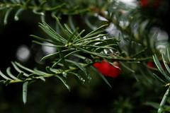 Common yew (taxus baccata) (mkk707) Tags: nikond100 nikonultronstyle cosinavoigtlndernokton58mmf14slii bokeh macro closeuplens tree