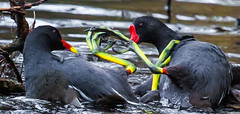 Foot to foot combat (Steve-h) Tags: bushypark nature natura baturaleza moorhens birds wildfowl aquaticbirds fight battle claws foot feet leg black red yellow colour colours park pond dublin ireland europe spring may 2016 steveh allrightsreserved