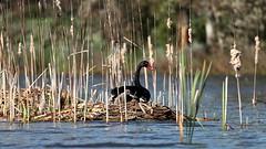 Swans and Cygnet (blachswan) Tags: winterswamp mullahwallahwetlands wetland wetlands ballarat victoria australia lucas cygnusatratus cygnets cygnet water spring cumbungi