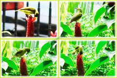 A welcoming sunbird that's a regular visitor to our garden (jayjayc) Tags: jaycjayc flickr16 tropicalgarden kualalumpur malaysia sunbird redbuttonginger