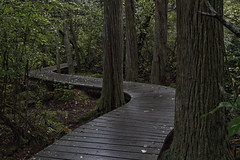 Meandering in the Cedar Swamp (brucetopher) Tags: swamp boardwalk meander walkway hike trail path curve curvy winding wind trees swampy lowland moss tree solitude private quiet peaceful dark peace shade shady cool green